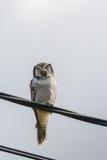 Nordliga Hawk Owl - Surniaulula - som vilar på elektrisk tråd Arkivfoto