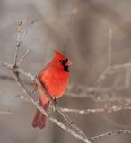 nordliga huvudsakliga cardinalis Arkivbilder