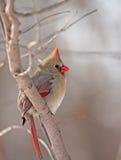 nordliga huvudsakliga cardinalis Fotografering för Bildbyråer