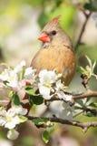 nordliga huvudsakliga cardinalis Royaltyfri Foto