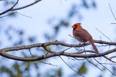 nordliga huvudsakliga cardinalis Arkivfoto