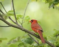 nordliga huvudsakliga cardinalis Royaltyfri Bild