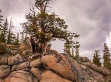 Nordliga Kalifornien Bristlecone sörjer trädet arkivfoton
