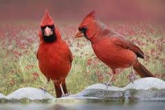 Nordliga kardinaler på fågelbad royaltyfri bild