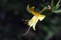 Nordliga ljus Azalea Hybrids Fotografering för Bildbyråer