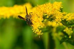 Nordliga pappers- Wasp Royaltyfri Fotografi