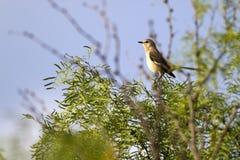 nordliga polyglottos för mimushärmfågel fotografering för bildbyråer