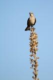 nordliga polyglottos för mimushärmfågel royaltyfria bilder