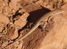 Nordliga Sida-flammiga ödlakamouflage på en vagga royaltyfri fotografi