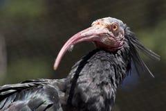 nordliga skalliga ibis Royaltyfri Bild