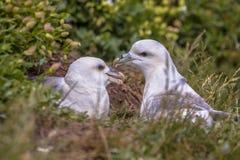 Nordliga stormfågelpar royaltyfri foto