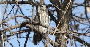Nordliga Vit-vände mot Owl Among Branches arkivfilmer