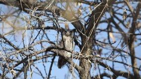 Nordliga Vit-vände mot Owl Among Branches lager videofilmer