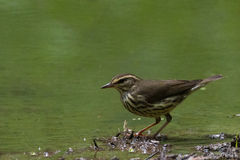 Nordliga Waterthrush Royaltyfri Foto