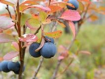 Nordligt blåbär för myr royaltyfri bild