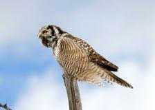 Nordligt Hök-Owl kalla Royaltyfri Bild