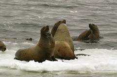nordligt hav för eumetopiasjubatuslion Arkivfoto