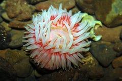 nordligt rött hav för anemon arkivbilder