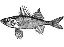 Nordm de Percarina Demidoffi dos peixes. (latino) Illustrati Fotografia de Stock Royalty Free