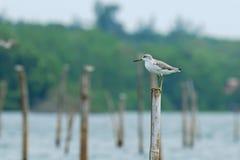 (Nordmann的青足鹬)栖息在后面的杆的鸟和河 免版税库存图片