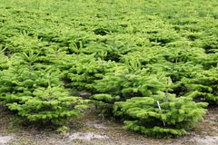 Nordmann fir plantation Stock Images