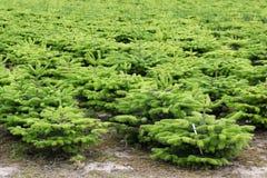Nordmann fir plantation Stock Images