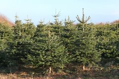 Nordmann fir plantation Royalty Free Stock Images