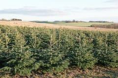 Nordmann fir plantation in Denmark. Nordmann fir plantation for Christmas market in Denmark stock photo