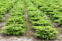 Nordmann fir plantation in Denmark Royalty Free Stock Image