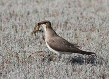 (nordmanni del Glareola) -2 pratincole Negro-con alas. Fotografía de archivo