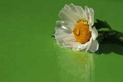 Nordpolblume und die Tropfen des Grüns Stockbild