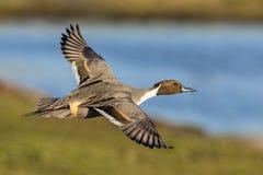 Nordspießente Drake - Anekdoten acuta, fliegend über ein Sumpfgebiet Lizenzfreie Stockbilder