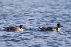 Nordspießenten-Enten auf dem Wasser Lizenzfreie Stockbilder