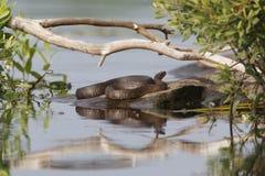 Nordwasser-Schlange, die auf einem Felsen sich aalt Stockfoto