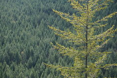Nordwestbäume stockbilder