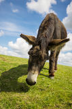 Norfolk Broads, Close up of a donkey in a field Royalty Free Stock Photo