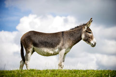 Norfolk Broads, Donkey. Standing on grass, profile view stock photo