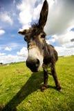 Norfolk Broads, Donkey close up Royalty Free Stock Photography