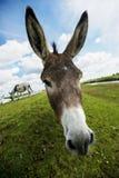 Norfolk Broads, Donkey Close up Stock Photos