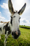 Norfolk Broads, Donkey close up Stock Photo