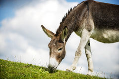 Norfolk Broads, Donkey grazing on grass Royalty Free Stock Photos