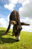 Norfolk Broads, Donkey grazing on grass in the summer time Stock Images