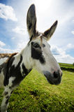 Norfolk Broads, Donkey side ciew close up Stock Photos