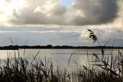Norfolk broads. Looking through the reeds onto Hickling Broad with waterfowl Royalty Free Stock Images