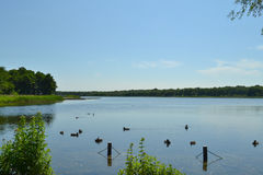 Norfolk Broads. Rollesby Broad, Norfolk with ducks under a clear blue sky Royalty Free Stock Photo