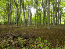 Norfolk Forest in the uk with trees in cleared coppice Royalty Free Stock Photos