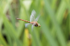 Norfolk Hawker  Aeshna isosceles Stock Photo