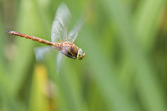 Norfolk Hawker  Aeshna isosceles Royalty Free Stock Image