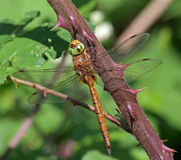 Norfolk Hawker Dragonfly Royalty Free Stock Photos