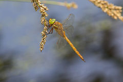 A Norfolk Hawker resting on a seed head. Royalty Free Stock Photo